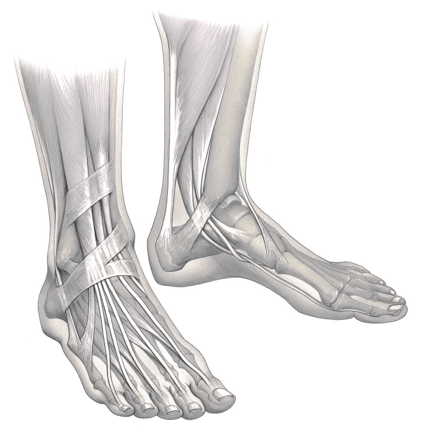 Black and white image of Foot and ankle anatomy